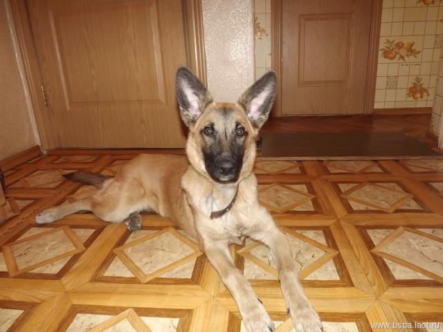 Ищет хороших хозяев щенок (метис лайки и овчарки), 3 месяца, кобель.
